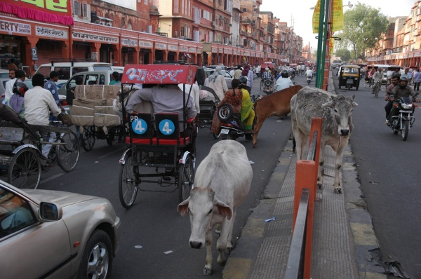 JAI Jaipur - cows crossing the street with heavy traffic on Kishanpol Bazaar street 3008x2000
